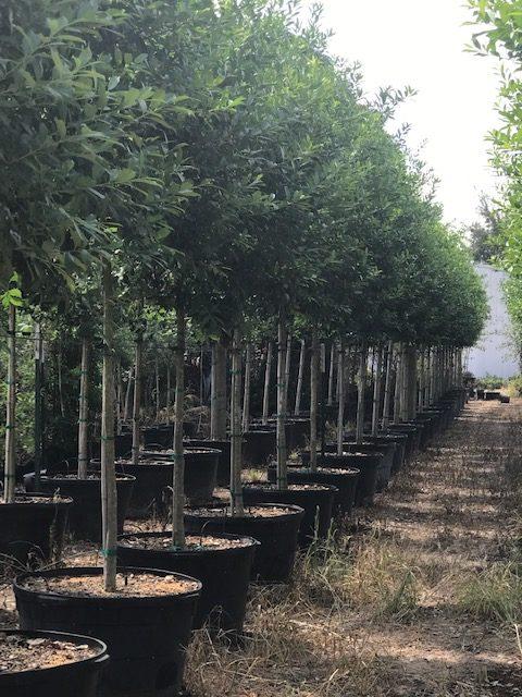 Williamson Tree Farm Houston